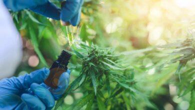 Photo of Salud: proponen una nueva ley para el uso de cannabis medicinal y su producción