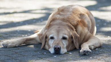Photo of Golpe de calor en las mascotas: ¿Cómo podemos cuidarlos?